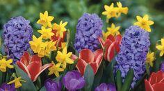 수선화 튤립 히아신스 크로커스 꽃 배경 화면