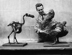 Museum worker with a dodo skeleton opposite a reconstructed model, National Museum of Wales, Cardiff, 1938