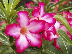 Plant lovers are always looking for easy to grow, unique plants with a fun aspect. Adenium desert rose plants are perfect specimens for the intrepid or novice gardener. This article provides additional information for growing desert rose plants. Unique Plants, Exotic Plants, Exotic Flowers, Pretty Flowers, Nail Swag, Dessert Rose Plant, Desert Rose Care, Rose Plant Care, Rose Garden Design