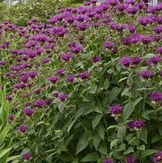 Monarda didyma 'Purple Rooster'