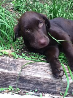 The chocolate lab puppy