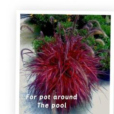 Details about 50 pcs Pennisetum setaceum Fireworks Fountain Grass Seeds purple color - All For Garden Outdoor Plants, Outdoor Gardens, Potted Plants, Red Plants, Pennisetum Setaceum, Ornamental Grasses, Ornamental Grass Landscape, Front Yard Landscaping, Landscaping Ideas