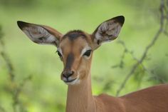 There are two types of impalas I love. Normal impalas and Tame Impala..s