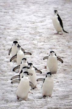 Beauty Rendezvous - beauty-belleza-beaute-schoenheit: From. Penguin Pictures, Animal Pictures, Baby Animals, Funny Animals, Cute Animals, Beautiful Birds, Animals Beautiful, Penguin World, Galapagos Penguin
