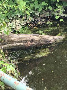 Snake on a log 7/4/16