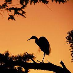 The Trudge In Going-Home Time とぼとぼの下校  ちょっと粗めに撮れたので、紫系の背景からKelvinでムリ目に夕焼けにして、粗さをカバーしてます。  #fabulous_shots #goandcapturethelight #beautiful #zonephotographer #ig_discover_birdslife #eye_spy_birds #bird #nature #naturelover #naturelovers #dofnature #tv_allnature #ig_allnature #nature_brilliance #nature_perfection #naturehippys #nature_wizards #silhouette #shadow #shadowgraph #bns_silhouette #heron #dusk #evening #シルエット #影 #影絵 #サギ #黄昏 #夕景