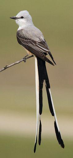 Scissor-Tailed Flycatcher (photo by photon freak)