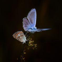 I ❤ butterflies . . . Blue Velvet . . .