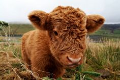 Weekly Hump Day photo of a super cute Highland Cow calf in the Scottish Highlands. Cute Baby Cow, Baby Cows, Cute Cows, Cute Baby Animals, Farm Animals, Funny Animals, Cute Babies, Baby Baby, Jungle Animals