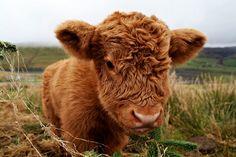 Such a cute baby cow!