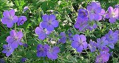 'Johnson's Blue', hoogte circa 45 cm. Bloeit de hele zomer met donker lavendelblauwe bloemen.
