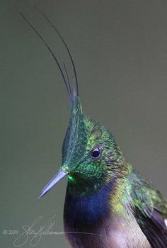 wire crested thorntail | Wire-crested Thorntail, Discosura popelairii | Flickr - Photo Sharing!