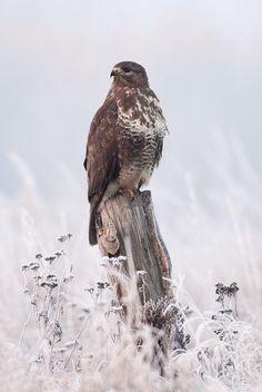 Winter buzzard
