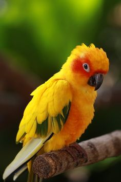 This is the parrot I aspire to have one day. the Sun Concure