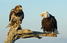"""Listen To Me You Moron !! - Then years ago at the beach of Kachemak Bay near Homer in Alaska  Adult Bald Eagle on the right and a juvenile on the left hand side.  ©<a href=""""http://www.hewaph.com"""">Harry Eggens</a>  Wishing all of you a wonderful weekend,  Harry"""