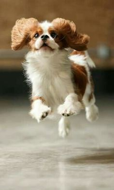 Cavalier King Charles Spaniel Puppy who thinks he's a Springer Spaniel