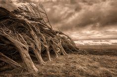 Monterey Cypress – Cupressus macrocarpa - Treegirl: Intimacy with Nature