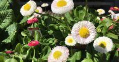 Just Pinned to Flowers: plantsarefriendssometimesfood:home depot english daisies http://ift.tt/2pED8eC