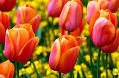 #BeautifulLife { The famous flower bloomed in all cities bringing color and happiness.. Tulip simbol of spring flowers with is rich vivid color is used by citizens to decorate and liven up every corner of the village } #HappySpring   #tulips #festival #tulipani #spring #primavera #Printemps #HappySpring #Flowerparty #flower #fiori #tweegram #igdaily #igers #BeautifulLife#Beautiful #me #amsterdam #istambul #castiglionedellago #picoftheday #tbs #tbc #instaflowers #instamoment #instaspring…
