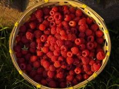 How To Grow Perfect Red Raspberries