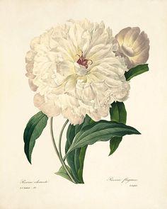Blanco peonía imprimir grabados antiguos flor arte Grabado