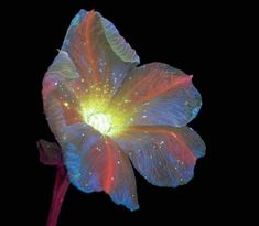 UV Flowers UV Photography Ultraviolet Photography Craig Burrows