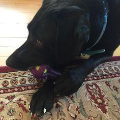 Love my toys! #dog #dogstagram #dogsofinsta #dogsofinstagram #dogoftheday #dailydog #dailybarker #lab #labrador #labradormix #labhoundmix #labstagram #labsofig #labsofinsta #labsofinstagram #labradorable #labradorlove #island #vinalhaven #love #follow #followme #cute #toys by labhoundpepper