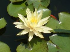 Official State Waterlily of Texas: Nymphaea Texas Dawn. Designated by HCR 24, 82nd R.S. (2011) authored by Rep. Drew Darby and sponsored by Sen. Robert Duncan. [Image by flickr user waynedchang] Read the resolution at: http://www.legis.state.tx.us/tlodocs/82R/billtext/pdf/HC00024F.pdf#navpanes=0