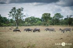 We had a spectacular sighting of a large congregation of wildebeest, zebra and impala. Private Games, Game Reserve, Impala, South Africa, Safari, Elephant, Adventure, Animales, Elephants