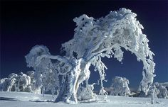 Tree covered by white snow  http://onlypositive.net/?tag=/snow