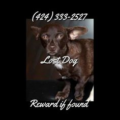 Lost mybrown fem chihuahua short front left leg (Norwalk )   Please help me, Carob, female chocolate brown chihuahua, green eyes, she has her front left leg that handicap (shorter with no paw) she is 3 years old. It was on Thursday June 19th, on fairford and Cecilia in Norwalk, CA.someone stopped and picked her up thinking she was hurt, he told that to the young kids who were ...She has a microchip . 424-333-2527 cbkw9-4533229385@comm.craigslist.org