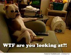 Funny English Bulldog Pics   English Bulldog Sitting on a Couch Watching TV