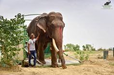 #Gajraj take his first steps at the #WildlifeSOS' #ElephantConservationandCareCenter as he is walks out from the elephant ambulance. We would like to take this moment to thank all our supporters for being a part of his journey & making this rescue possible! Please consider making a generous donation to support a healthy future for Gajraj: bit.ly/2sWMnV7