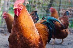 Eieren van onze eigen kippen.