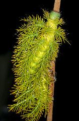 Spiny Caterpiller    Found in the Peruvian Amazon