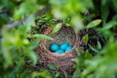 Find images and videos about birds, eggs and robin on We Heart It - the app to get lost in what you love. Birds And The Bees, Love Birds, Beautiful Birds, Robins Egg, Backyard Birds, Fauna, Bird Watching, Bird Feathers, Pet Birds