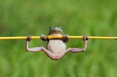 Une grenouille en plein entraînement - Ça sue bien chez les amphibiens: il semblerait que «Kermit la grenouille» se prépare physiquement pour un nouveau rôle au cinéma. En réalité, ce cliché est simplement le résultat d'un bon coup d'œil et d'un timing parfait.