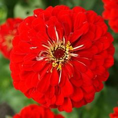 (Zinnia Elegans Lilliput Red) - Lush pom-poms of color make Zinnia Lilliput perfect for your containers and along walkways. Grown from Zinnia this sem. Red Flowers, Beautiful Flowers, Zinnia Elegans, American Meadows, Rogers Gardens, Easy Plants To Grow, Growing Orchids, Bonsai Seeds, Xeriscaping