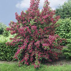 Weigelie Bristol Ruby rot blühend, 1 Strauch: Amazon.de: Garten
