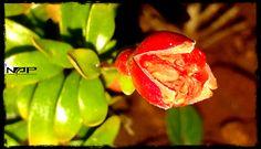 #Fruit#Rumman#Flower#