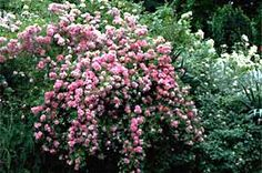Rambling Rose cascade