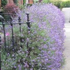 lavender Hidcote hedge