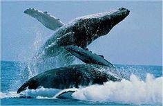 Ballenas en Hermanus