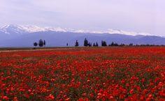 Lente in Andalusië - amapolas (klaprozen) in de Sierra Nevada, Granada