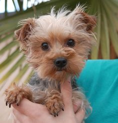 Twinkle is an inquisitive girl eager to be loved by someone who will accept her unconditional love and never fail her.  She is a super cute Yorkshire Terrier, 4 years of age, spayed, and debuting for adoption today at Nevada SPCA (www.nevadaspca.org).  Twinkle enjoys other sweet dogs and she needs regular professional grooming.  A leisurely lifestyle is ideal for her (because of a slipping kneecap -- luxating patella -- and surgery is not recommended by her veterinarian at this time).