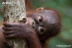 Bornean orangutan juvenile biting tree - View amazing Bornean orangutan photos - Pongo pygmaeus - on ARKive