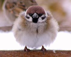 birds- check out that down coat :P Cute Birds, Pretty Birds, Small Birds, Little Birds, Colorful Birds, Beautiful Birds, Animals Beautiful, Animals And Pets, Baby Animals