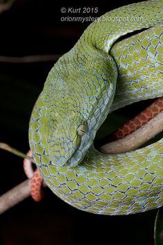 Hagen's Pit Viper (Trimeresurus hageni) - Malaysia