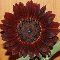"15 Seeds, Sunflower ""Chocolate"" (Helianthus annuus) Seeds By Seed Needs by Seed Needs: Flowers. $2.15. Easy planting instructions along with a colorful picture printed on each ""Seed Needs"" packet!. Annual plants that grow and bloom until the first frost. Quality Sunflower seeds packaged by ""Seed Needs"". Flowers measure 4 to 6 inches in diamter. This Sunflower grows to a mature height of 36 to 60 inches tall. Everyone loves sunflowers! They are one of the easiest flowers to establ..."