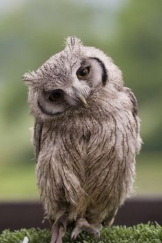 Inquisitive Owl<3